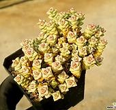 희성금 75-301|Crassula Rupestris variegata