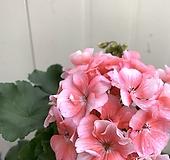 제라늄 연분홍 보카시|Geranium/Pelargonium