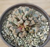 천녀 0919-51|Titanopsis calcarea