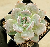 오렌지먼로 13-95|Echeveria Monroe(Orange)