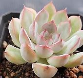 핑크자라고사2100|Echeveria mexensis Zaragosa