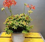 벤쿠버제라늄(잎이 단풍잎처럼생긴 아이에요) 중품 (재입고) 