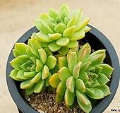 에보니*자라고사(대) 14-188|Echeveria mexensis Zaragosa
