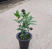 명품레몬나무 열매류 중대품 407022510|