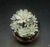 묵은 검은발톱자라고사-9두(9.22)|Echeveria mexensis Zaragosa