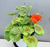 인디안듄제라늄 Geranium/Pelargonium