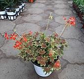 벤쿠버 제라늄/중품/잎이단풍잎처럼이뻐요. Geranium/Pelargonium