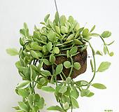 [그린플랜드] 공중식물 에어플랜트 디시디아 그린하프 