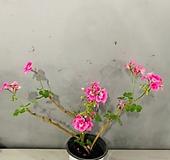 묵은둥이제라늄 (동일품배송) Geranium/Pelargonium