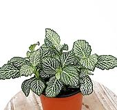 화이트스타 타이거휘토니아 실내식물 