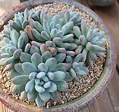 후레뉴 군생|Pachyphtum cv Frevel