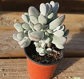 방울복랑 1011-70|Cotyledon orbiculata cv