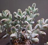 방울복랑묵은중대품 1012-1398|Cotyledon orbiculata cv