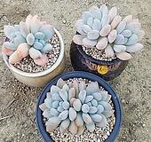 묵은 후레뉴 3종모듬|Pachyphtum cv Frevel