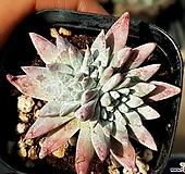 화이트그리니(자연군생) 30-271|Dudleya White gnoma(White greenii / White sprite)