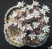 화이트그리니23두 자연군생 1013|Dudleya White gnoma(White greenii / White sprite)