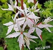 백티스글리터(제라늄) Geranium/Pelargonium