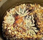 화이트그리니(미니) 55-206|Dudleya White gnoma(White greenii / White sprite)