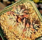 화이트그리니(자연군생) 55-230|Dudleya White gnoma(White greenii / White sprite)