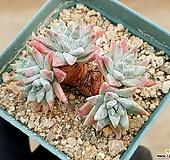 화이트그리니(자연군생) 31-56|Dudleya White gnoma(White greenii / White sprite)