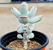 방울복랑 31-122|Cotyledon orbiculata cv