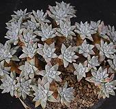 화이트그리니2 (49두분지중한몸묵은둥이) X101414|Dudleya White gnoma(White greenii / White sprite)