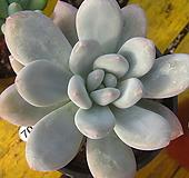 후레뉴70|Pachyphtum cv Frevel