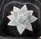 화이트그리니01453|Dudleya White gnoma(White greenii / White sprite)