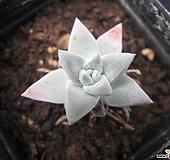 화이트그리니01451|Dudleya White gnoma(White greenii / White sprite)