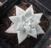 화이트그리니01454|Dudleya White gnoma(White greenii / White sprite)