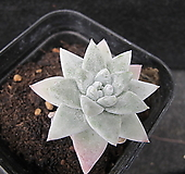 화이트그리니01480|Dudleya White gnoma(White greenii / White sprite)