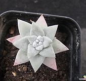 화이트그리니01450|Dudleya White gnoma(White greenii / White sprite)