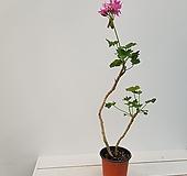 화이어웍스제라늄분홍(사진배송) Geranium/Pelargonium