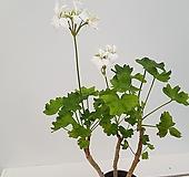 화이어웍스화이트제라늄(사진배송) Geranium/Pelargonium
