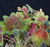 벤쿠버제라늄 Geranium/Pelargonium
