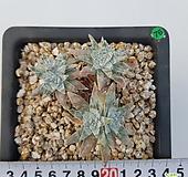 화이트그리니6두/g76|Dudleya White gnoma(White greenii / White sprite)