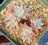 화이트그리니(자연군생) 55-280|Dudleya White gnoma(White greenii / White sprite)