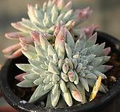 화이트그리니 목대자연군생 391015|Dudleya White gnoma(White greenii / White sprite)