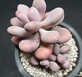 아메치스-7502|Graptopetalum amethystinum