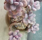 아메치스묵은둥이|Graptopetalum amethystinum