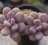 아메치스 군생 2-5629|Graptopetalum amethystinum