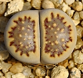리톱스 쥴리플러리(스티치무늬 창)Lithops julii fulleri-219 Lithops