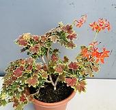 벤쿠버제라늄 (묵은둥이대품) Geranium/Pelargonium