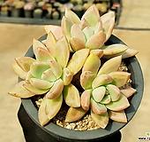 아메치스교배종(대) 35-44|Graptopetalum amethystinum