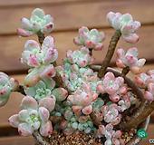 핑크리한 핑크라울|Sedum Clavatum