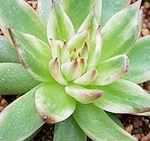 호피마리아금 (복륜)|Echeveria agavoides Maria