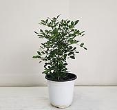오렌지 자스민/공기정화식물/반려식물/온누리 꽃농원|