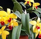 카틀레야.엘로우돌.다시입고.예쁜노란색.(노랑색에 빨강립프).고급종.상태굿.귀엽고예쁩니다.인기상품.꽃대. 