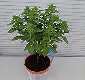 바질트리허브/공기정화식물/외목대|Hub
