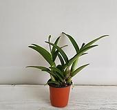 향카틀레아/공기정화식물/반려식물/온누리 꽃농원 